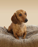 Junger Dachshundhund Stockfotos