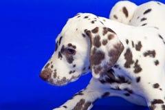 Junger Dalmatiner Stockbild