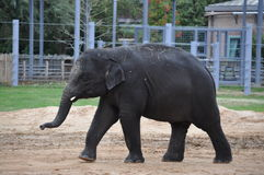 Junger Elefant stockfotos