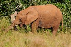 Junger Elefant, Addo Elephant National-Park, Südafrika Lizenzfreie Stockfotos