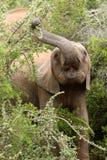 Junger Elefant, der Blätter isst Stockfoto