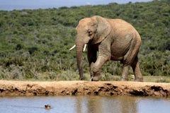 Junger Elefant, der etwas trinken geht Stockfotos