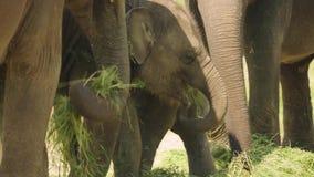 Junger Elefant, der Gras unter anderen Erwachsenen 4K isst stock video