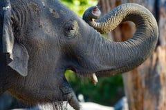 Junger Elefant, der seinen Mund öffnet und Stamm kräuselt Stockfotos
