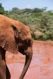 Junger Elefant im vollen Profil Stockfoto