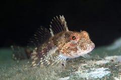 Junger eleganter Seeskorpion unter Wasser im Meer von Japan Stockfoto