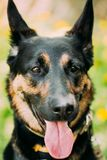 Junger Elsässer Wolf Dog German Shepherd Dog lizenzfreie stockfotografie