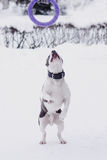 Junger erwachsener schöner amerikanisches Staffordshire-Terrierhund springen zur Abziehvorrichtung im Winter auf Schnee Lizenzfreie Stockfotos