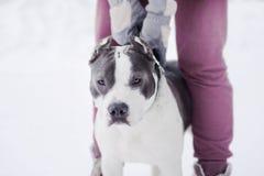 Junger erwachsener schöner amerikanisches Staffordshire-Terrierhund springen zur Abziehvorrichtung im Winter auf Schnee Lizenzfreie Stockfotografie