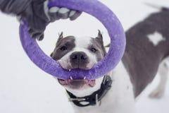 Junger erwachsener schöner amerikanisches Staffordshire-Terrierhund springen zur Abziehvorrichtung im Winter auf Schnee Stockfotografie
