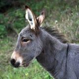 Junger Esel Stockfotos