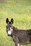 Junger Esel Stockbild
