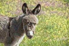 Junger Esel Lizenzfreies Stockfoto
