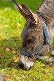 Junger Esel, der grünes Gras an einem sonnigen Tag isst Lizenzfreies Stockbild