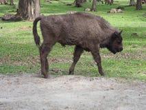 Junger europäischer Bison betrachtet und steht allein auf sandigem Boden in der Einschließung Stadt von Pszczyna in Polen stockbild