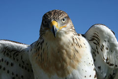 Junger Falke Stockfoto