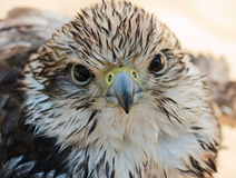 Junger Falke Stockfotos