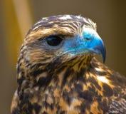 Junger Falke Stockbild