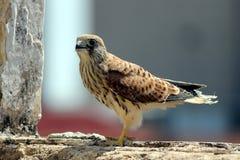 Junger Falke Lizenzfreie Stockfotografie