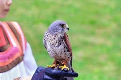 Junger Falke auf der Hand eines Mädchens in einem Staatsangehörigen lizenzfreie stockfotos