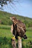 Junger Falke auf einem alten Baum trunk_3 Lizenzfreies Stockfoto