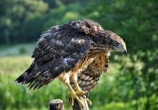 Junger Falke auf einem alten Baum trunk_2 Lizenzfreie Stockfotografie