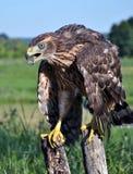 Junger Falke auf einem alten Baum trunk_4 Lizenzfreie Stockbilder