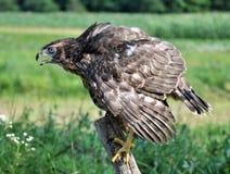 Junger Falke auf einem alten Baum trunk_5 Lizenzfreie Stockfotos