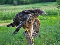 Junger Falke auf einem alten Baum trunk_6 Stockfotografie