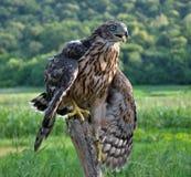 Junger Falke auf einem alten Baum trunk_7 Lizenzfreie Stockfotografie