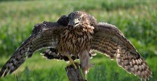 Junger Falke auf einem alten Baum trunk_9 Stockbild