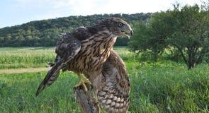 Junger Falke auf einem alten Baum trunk_11 Stockfotos