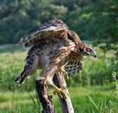Junger Falke auf einem alten Baumstamm Lizenzfreie Stockbilder