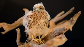 Junger Falke auf hölzernem Treibholz stock footage