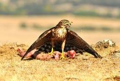 Junger Falke wirft mit Lebensmittel auf dem Gebiet auf Lizenzfreies Stockfoto
