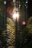 Junger Farn in der untergehenden Sonne Stockfoto