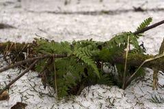 Junger Farn unter schmelzendem Schnee im Wald im Vorfrühling Lizenzfreies Stockfoto