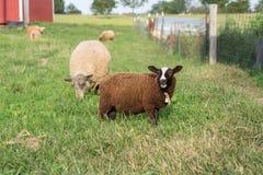 Junger Finn Lamb Looking Up While, der Gras kaut lizenzfreies stockbild