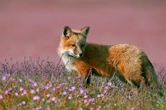 Junger Fox Stockbild