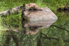 Junger Fox auf einem Felsen Stockfotografie