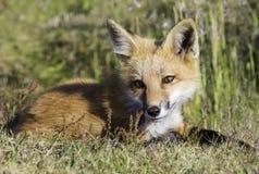 Junger Fox, der auf dem Gebiet legt Lizenzfreie Stockfotografie