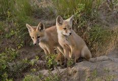 Junger Fox-Satz Lizenzfreie Stockfotografie