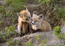 Junger Fox-Satz stockfotografie