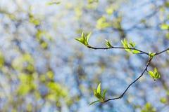 Junger Frühlingszweig mit Grün verlässt gegen blauen Himmel, reizende Landschaft der Natur, neues Leben Lizenzfreie Stockbilder