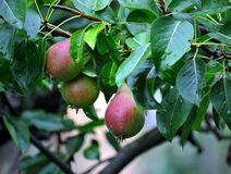 Junger frischer Birnenfruchtzweig lizenzfreie stockbilder
