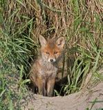 Junger Fuchs Lizenzfreies Stockfoto