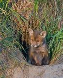 Junger Fuchs Stockbild