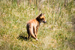 Junger Fuchs, der im Gras steht stockfotografie