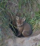 Junger Fuchs im Loch Stockbilder