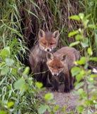 Junger Fuchs im Loch Stockbild